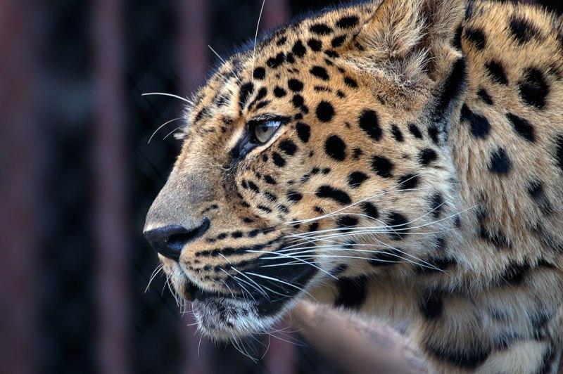 игра про леопарда