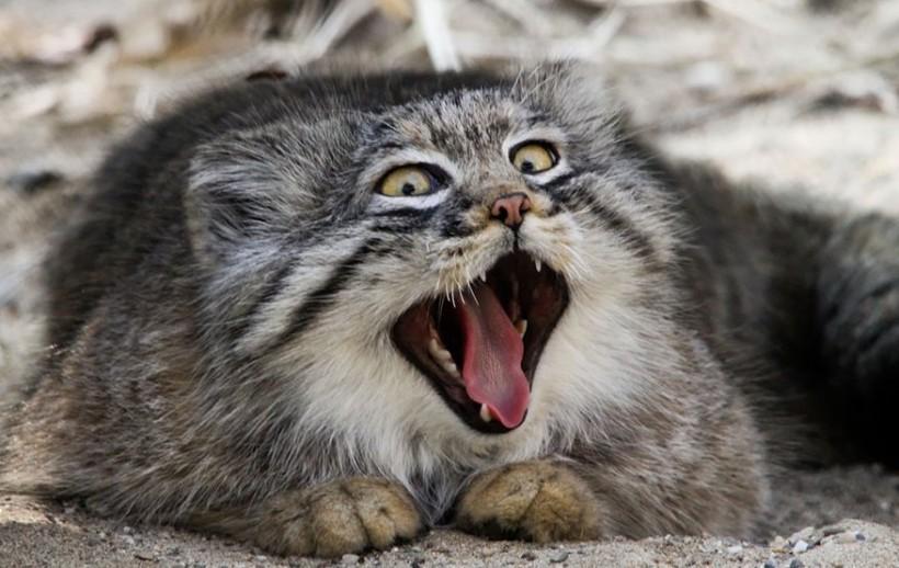 фото кошка манул