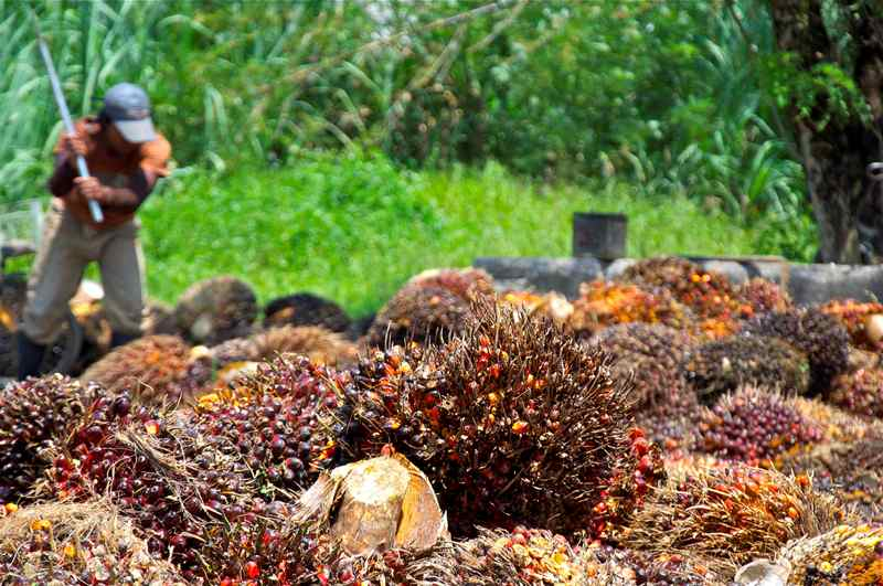 palm oil stalemate who is responsible essay Palm oil stalemate: who is responsible summary palm oil is a plant with various uses in human life (such as: tooth paste, moisturizer and biodiesel) malaysia is one of the largest producers and exporters of palm oil.