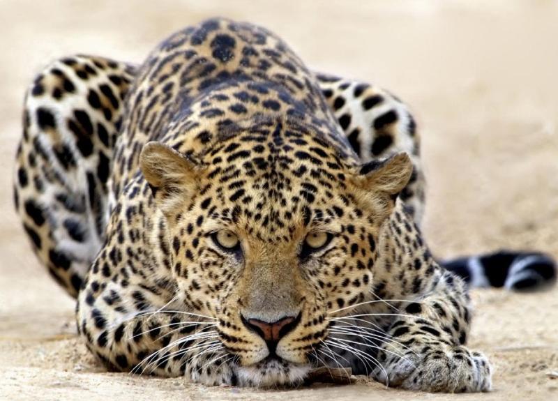 Взгляд леопарда - Фото Животные  Взгляд Леопарда