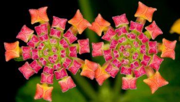 Растение Jeweled Carpet