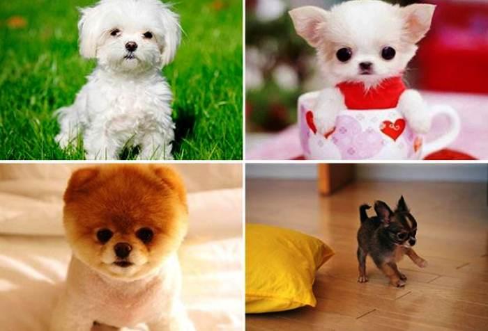 все виды маленьких пород собак